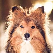 Шетландская овчарка (шелти)