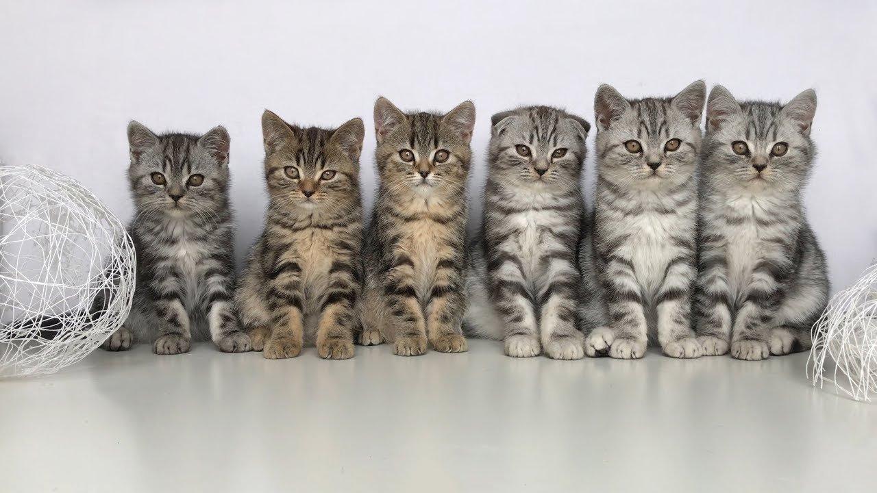 котята шотландской прямоухой породы фото