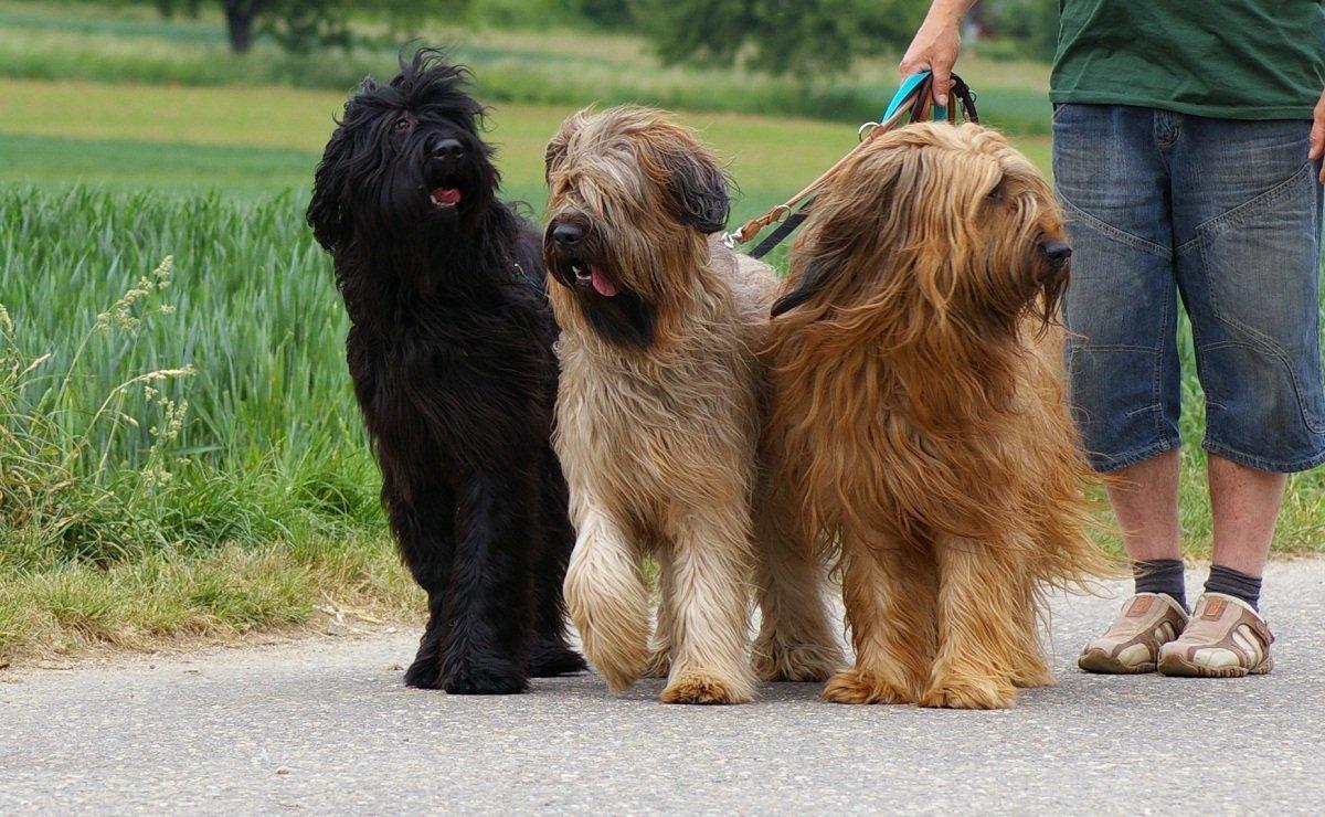 фото собак бриары все это ради