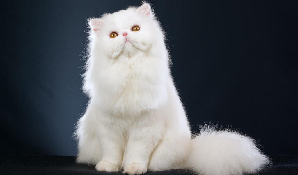 Персидская порода кошек особенности внешности и характера нюансы ухода