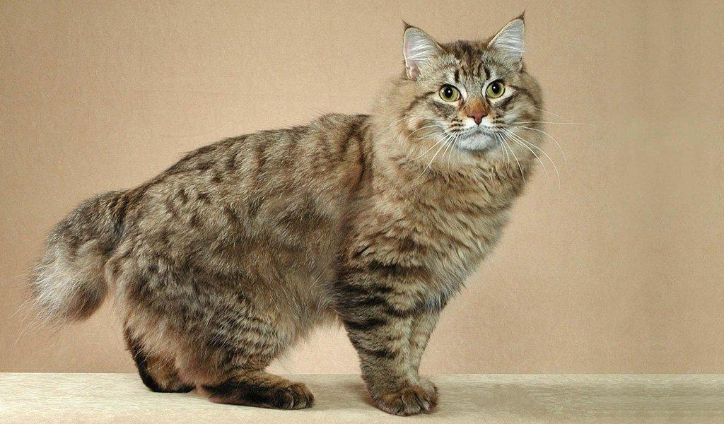 Американский бобтейл: все о кошке, фото, описание породы, характер ...