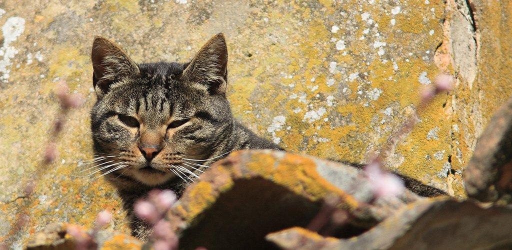 Стригущий лишай на ухе кошки Что делать как лечить