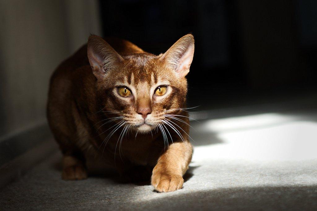 зал черная абиссинская кошка фото собраны лучшие оригинальные