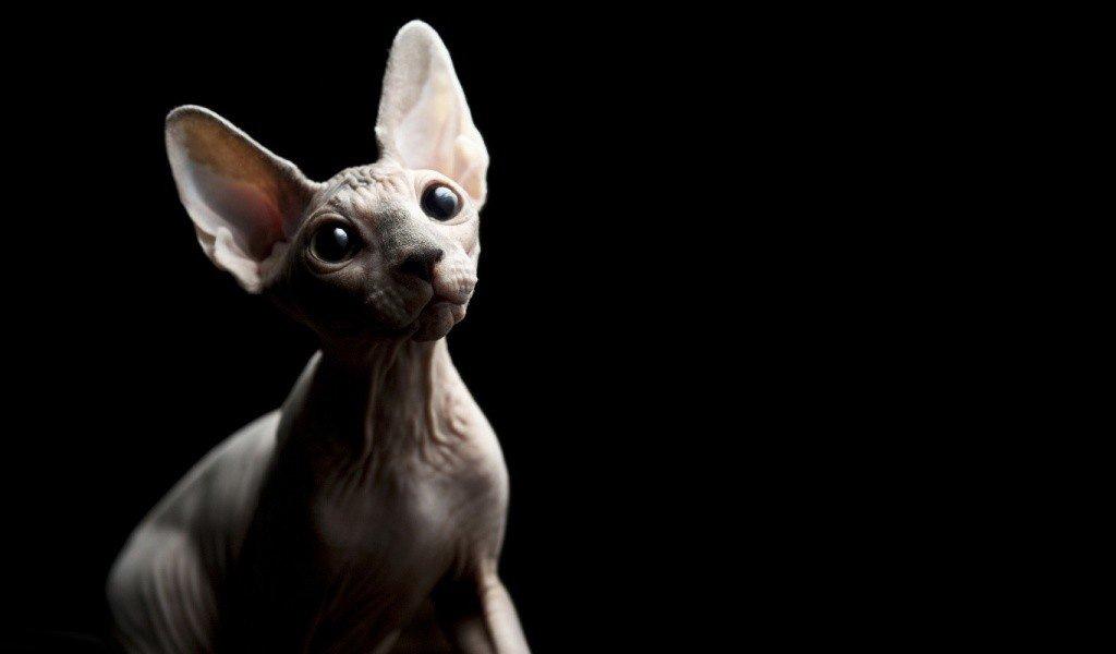 Все о породе кошек Канадский сфинкс