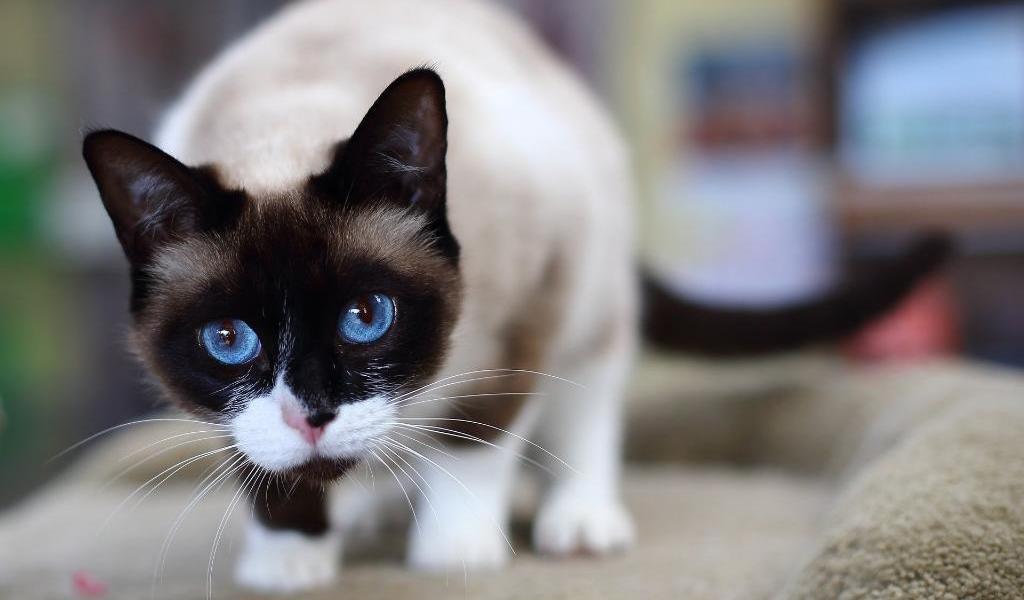 Порода кошек сноу шу – воплощение красоты и грации