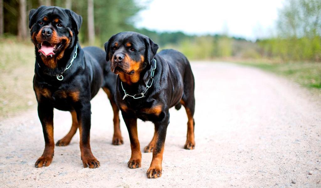 собаки порода ротвейлер картинки любую