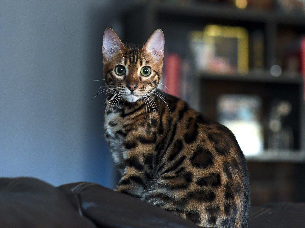 порода кошек с леопардовым окрасом фото понятно было