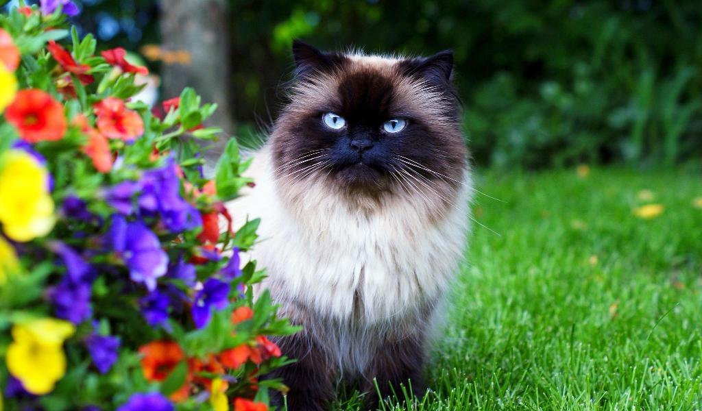 Гималайская кошка описание породы