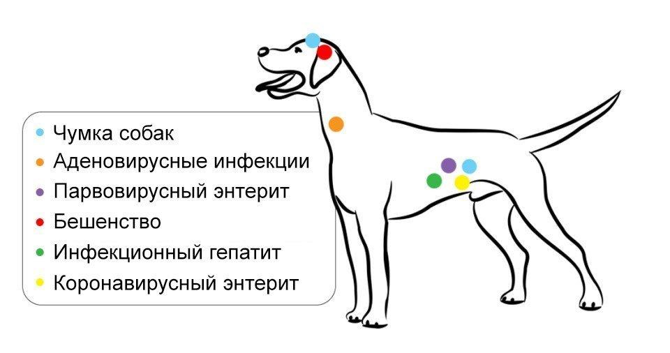 Куда делают уколы собаке от основных вирусов