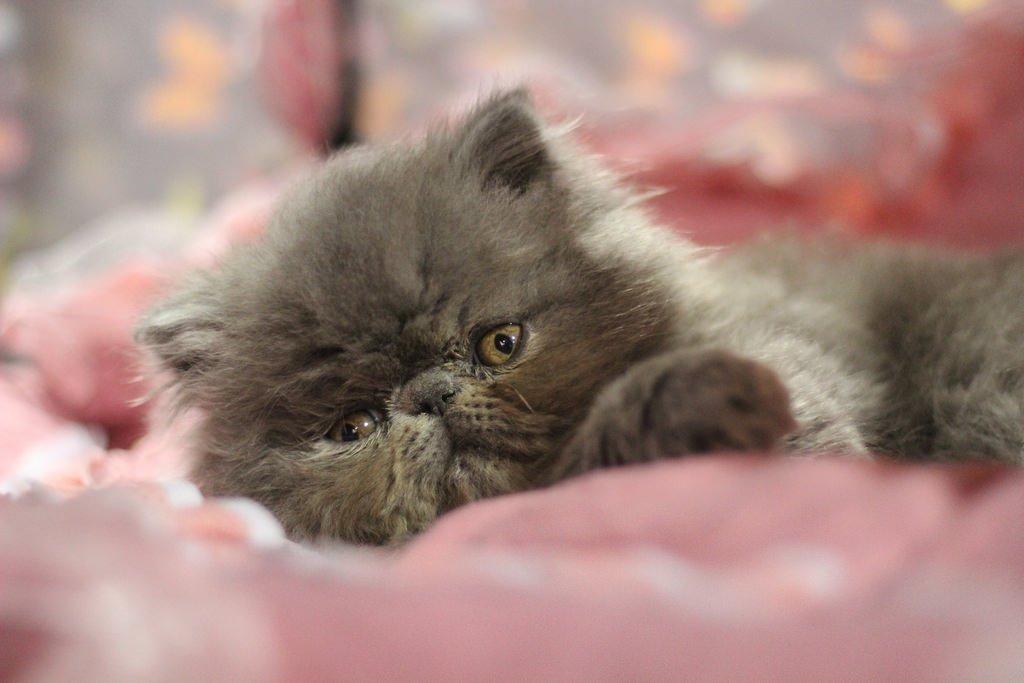 картинки маленький персидский котенок этой статье