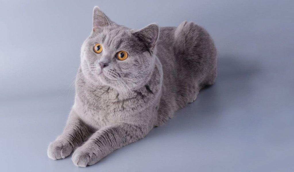 Порода кошек Шартрез: фото, история, характер, здоровье, уход