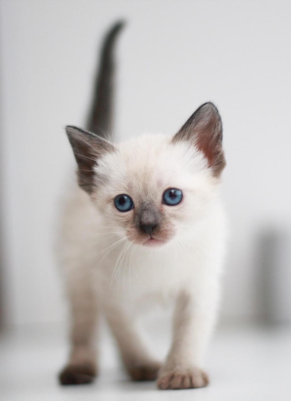 Картинки сиамских кошек маленьких