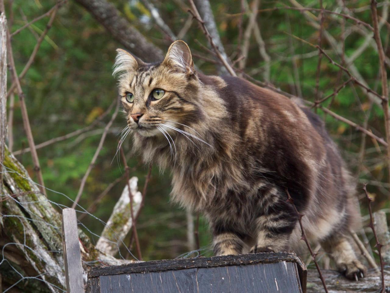 шрамы, картинки лесная скандинавская кошка фото работы электронных