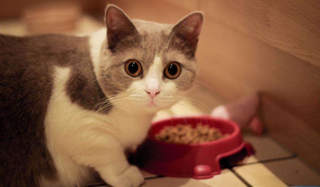 Манчкин – порода кошек с короткими лапами. Описание и фото породы кошек манчкин