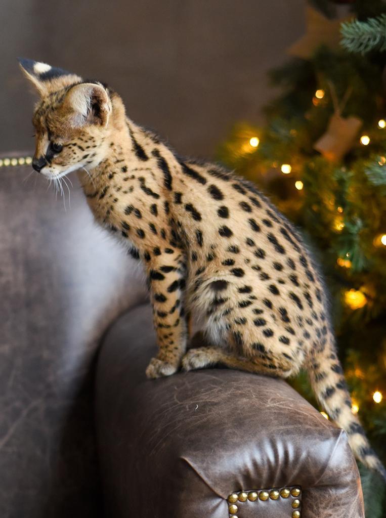 Кошка породы саванна картинки