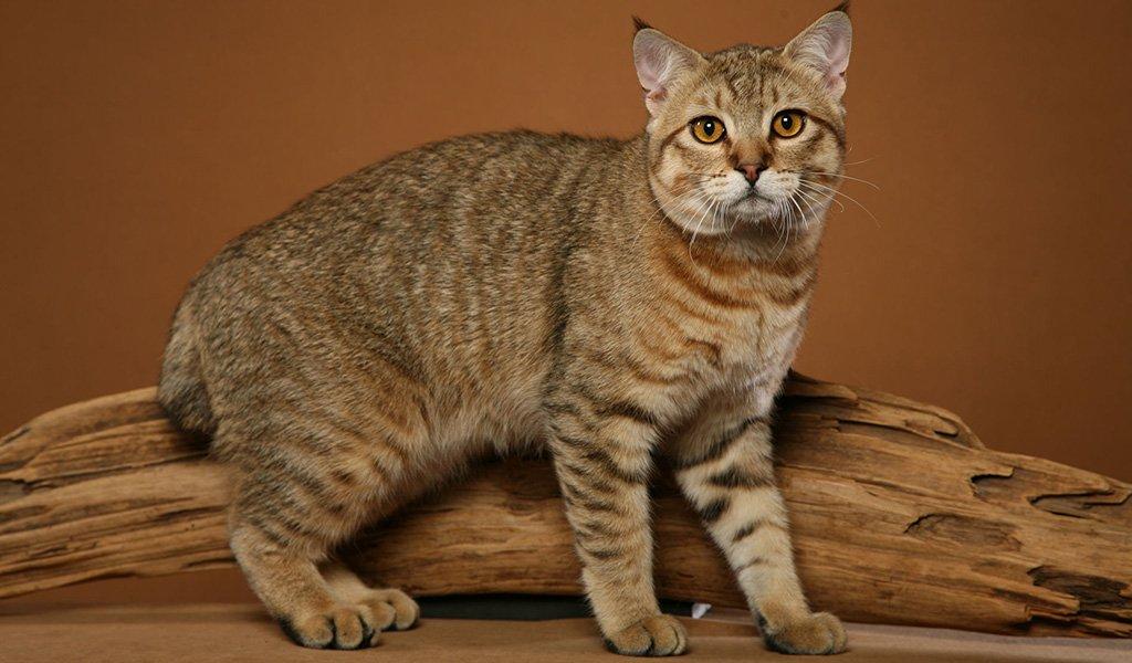Коты рысьей породы