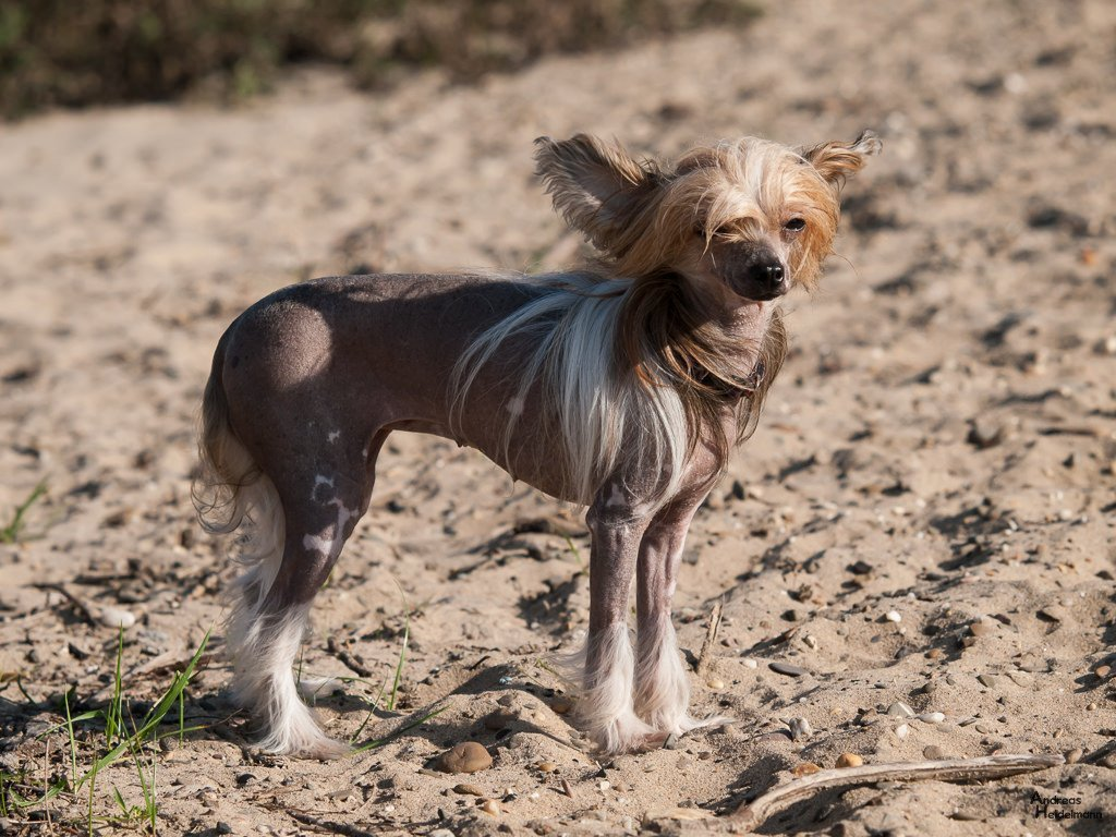 хохлатая собака фото качестве основы паркетного