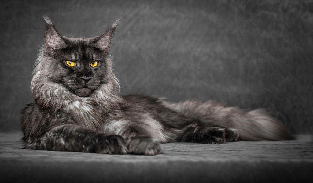 Фото и описание кошек породы майкун thumbnail