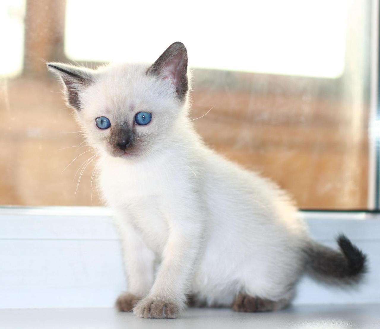 Картинки тайского котенка