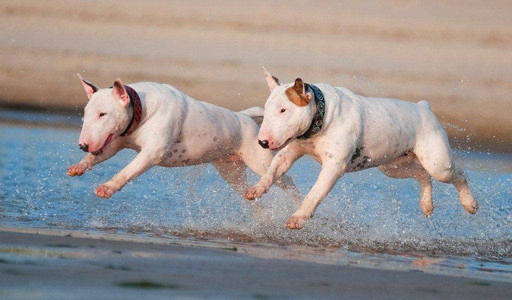 Как выбрать щенка бультерьера