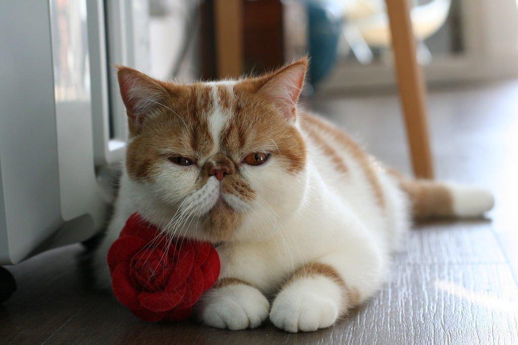 экзотическая короткошерстная кошка картинки