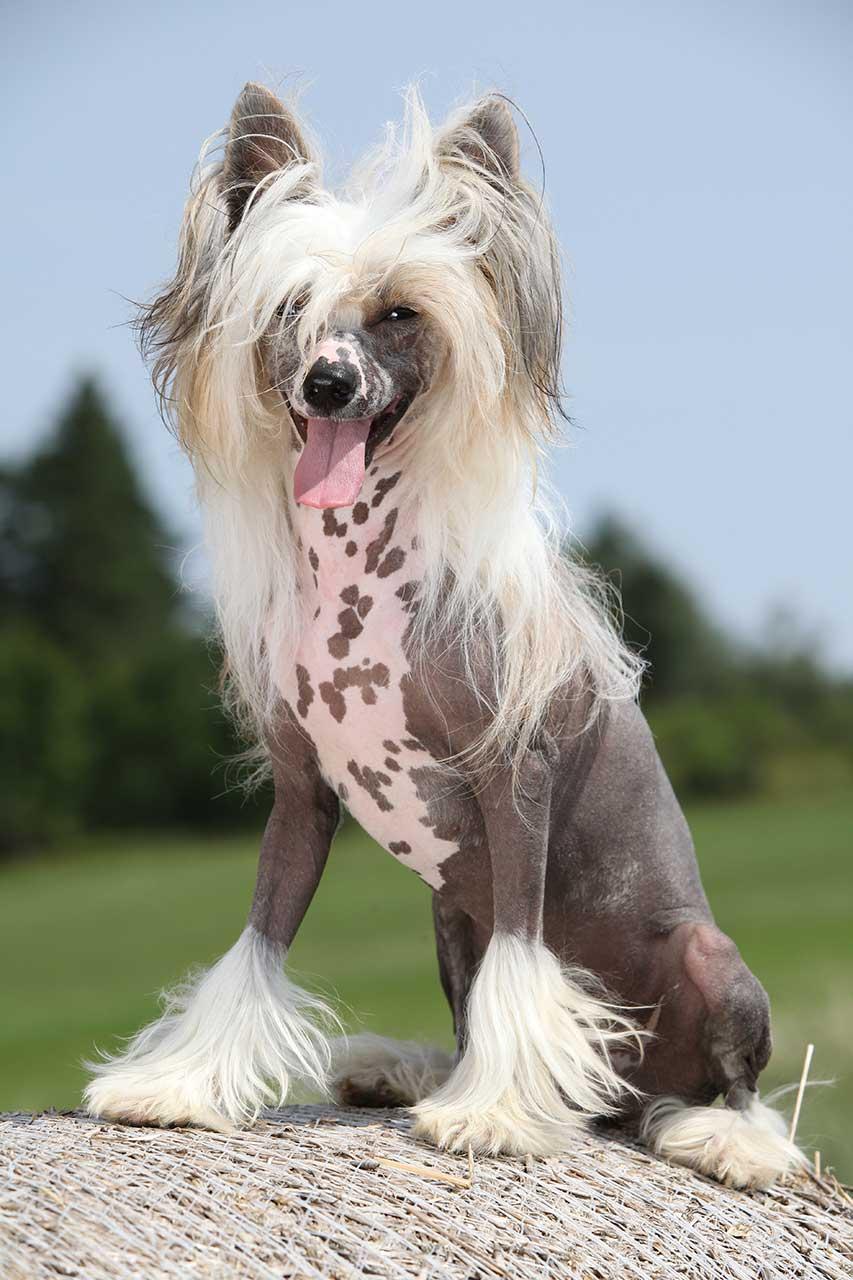 хохлатая собака фото вся причина