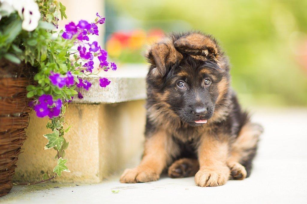 картинки собак овчарок немецких щенков если