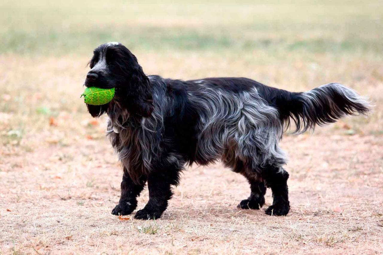 фото собак кокер спаниель черный елочка бывает