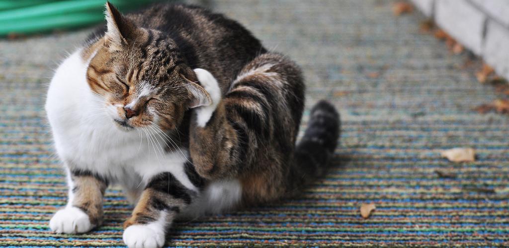 Блохи у кошек – как эффективно вывести блох