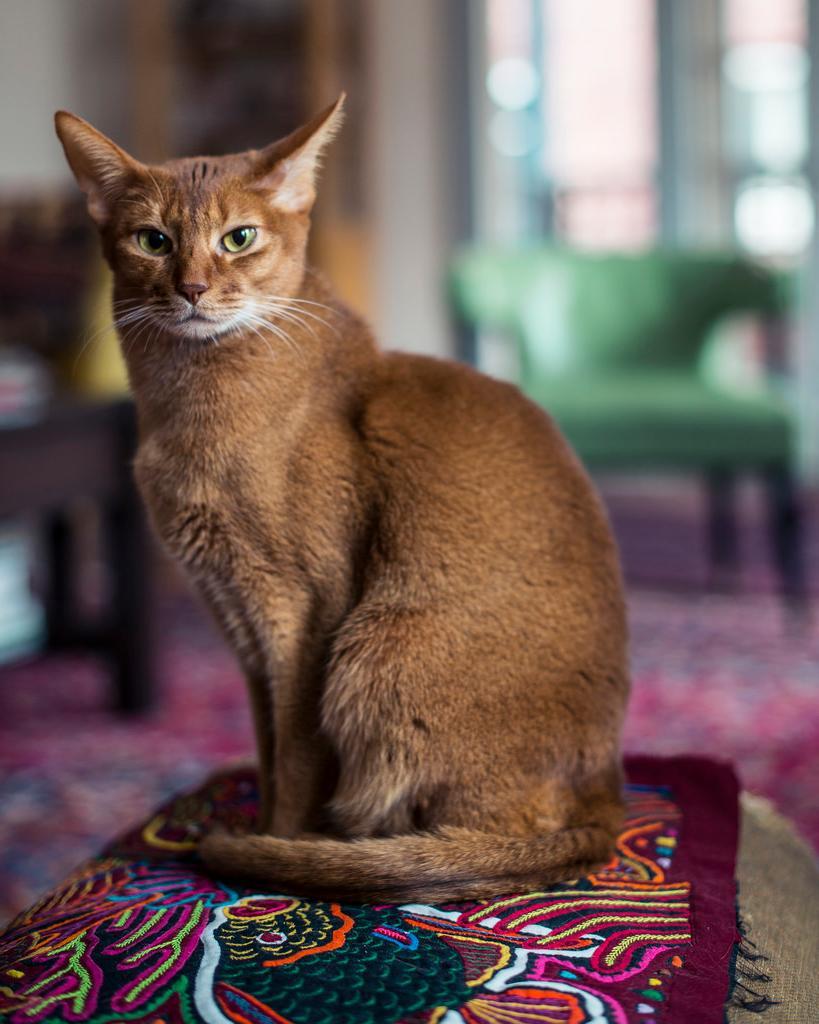 Абиссинская порода кошек в картинках
