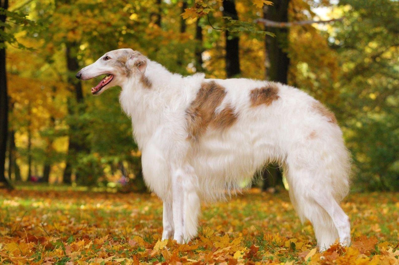 картинки собак русская борзая фото печь можно нагружать
