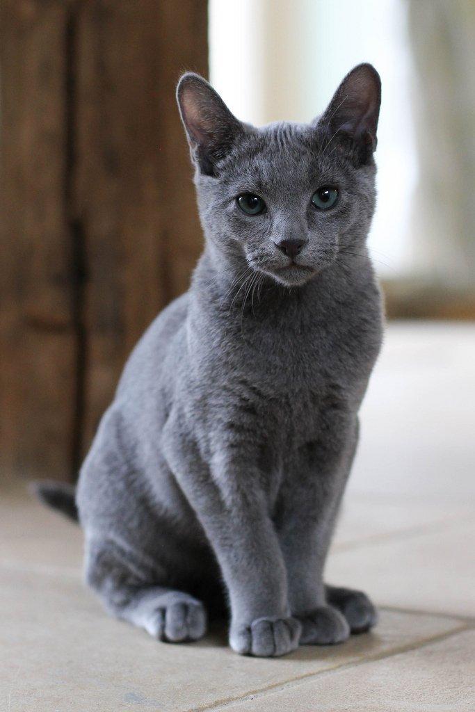 котята русской голубой