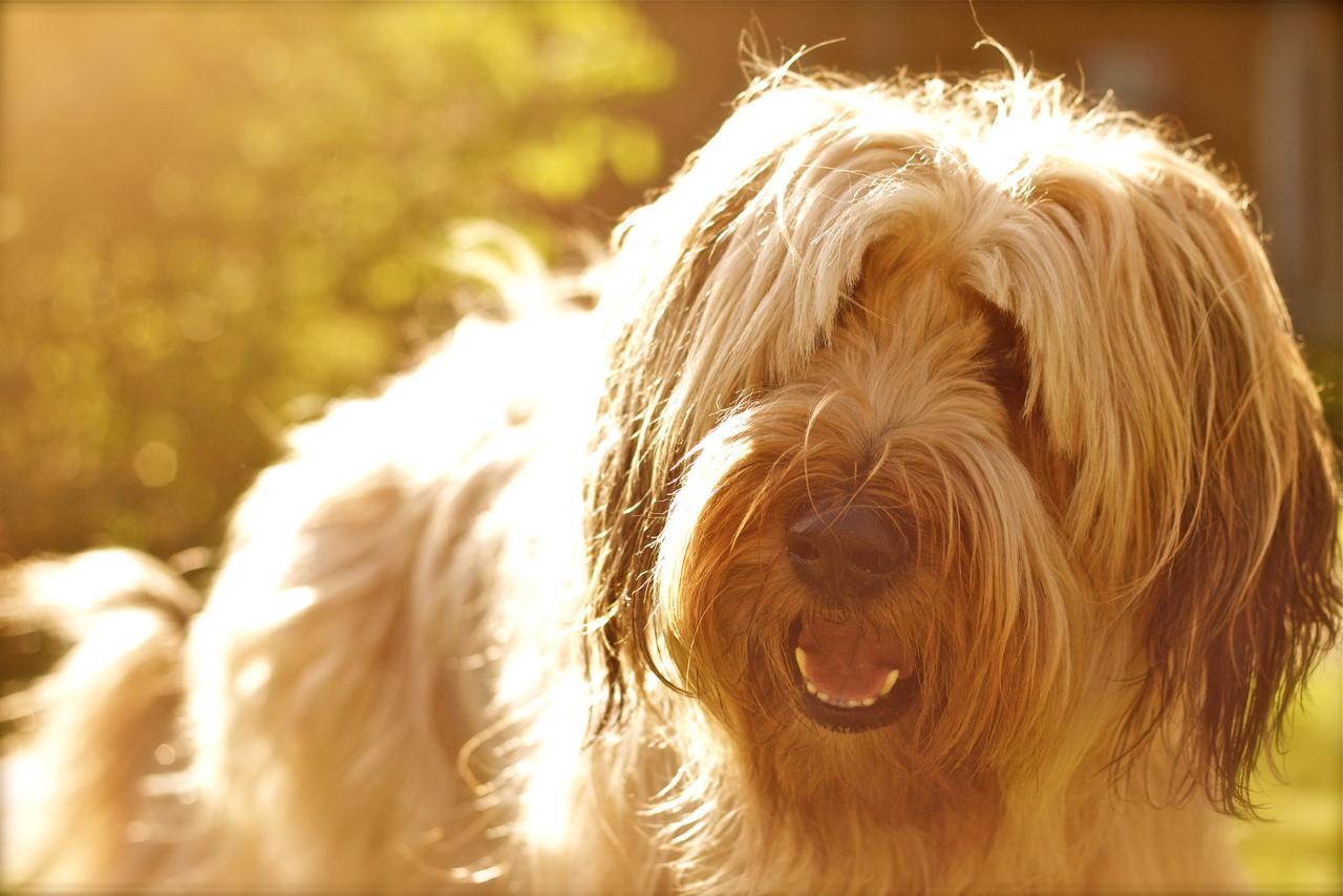 фото собак бриары наступающий новый