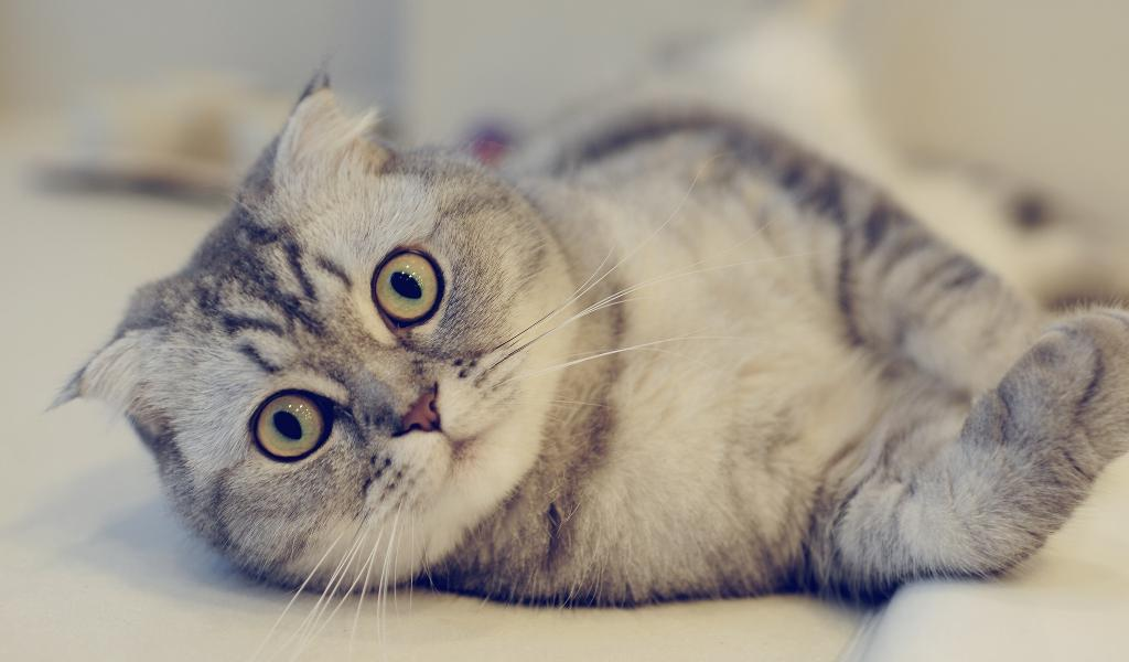 Скоттиш фолд вес кошки
