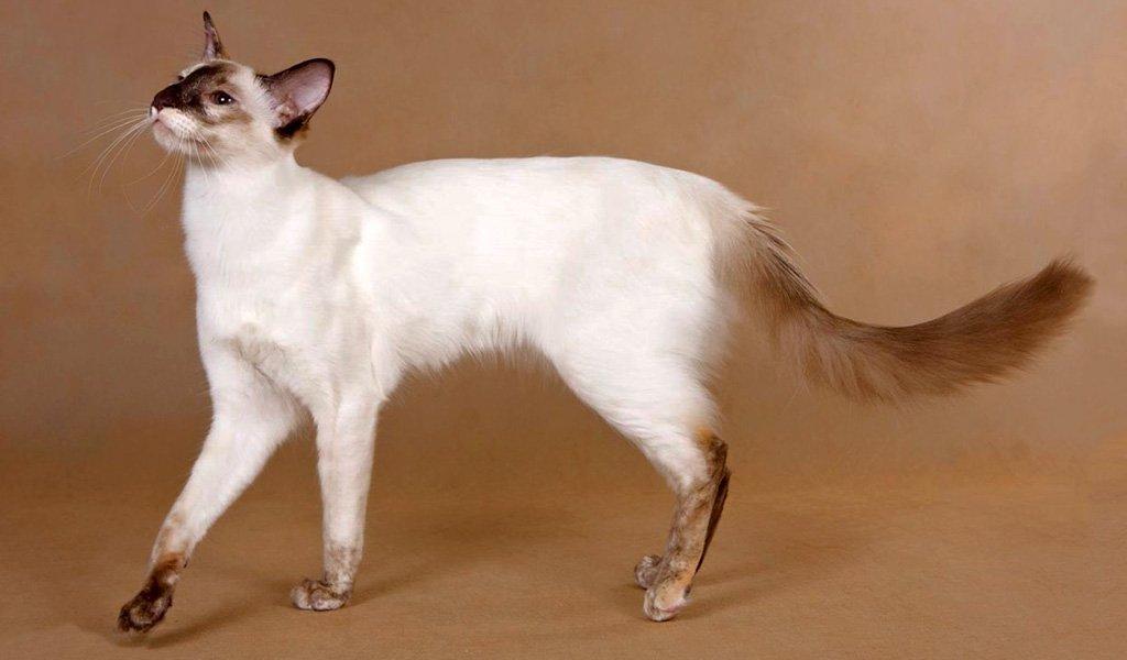 Балинезийская кошка (Балинез): фото, характер, описание