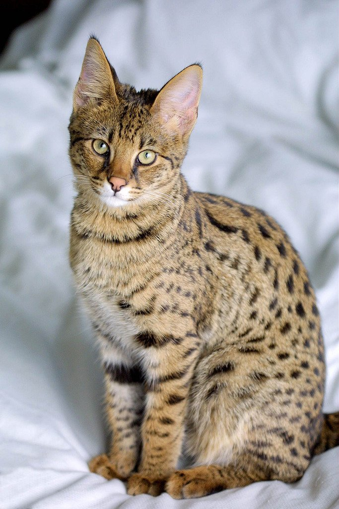 Породистые кошки картинка