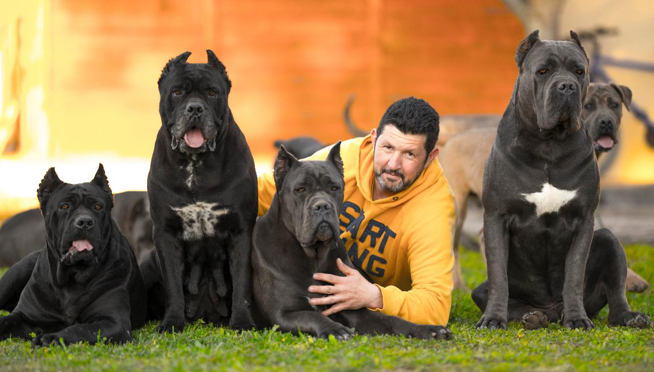 кане корсо размеры взрослой собаки