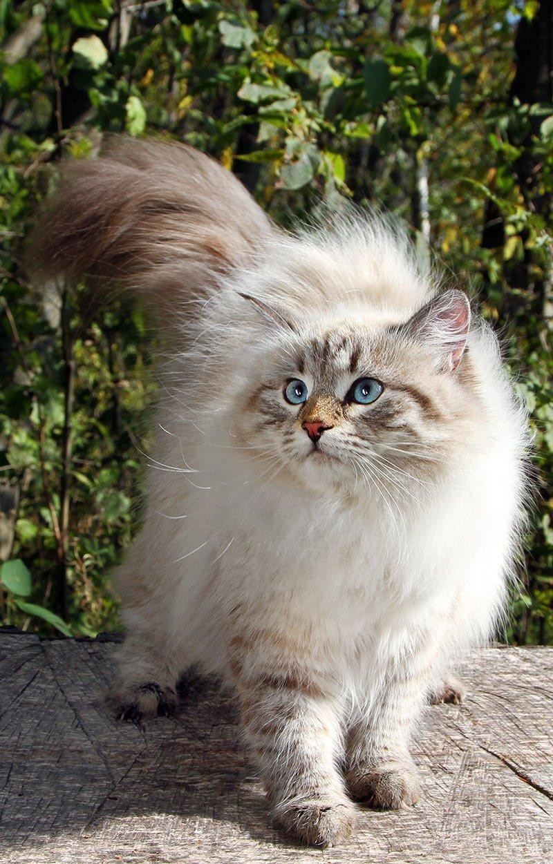 картинки кошек породистых пушистых лету прикольные фото