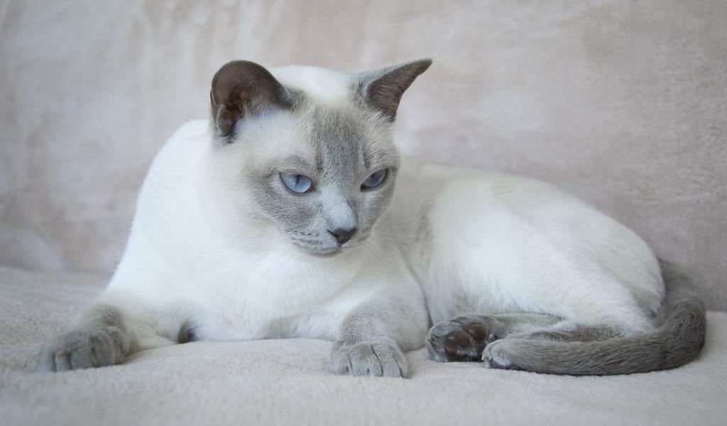 Подробное описание тонкинской породы кошек