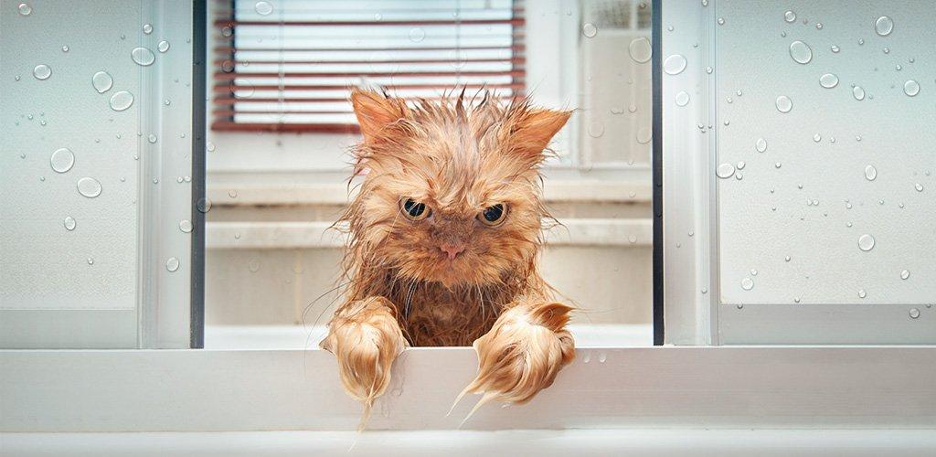 Чем мыть котенка от блох? Каким шампунем и как часто его купать?