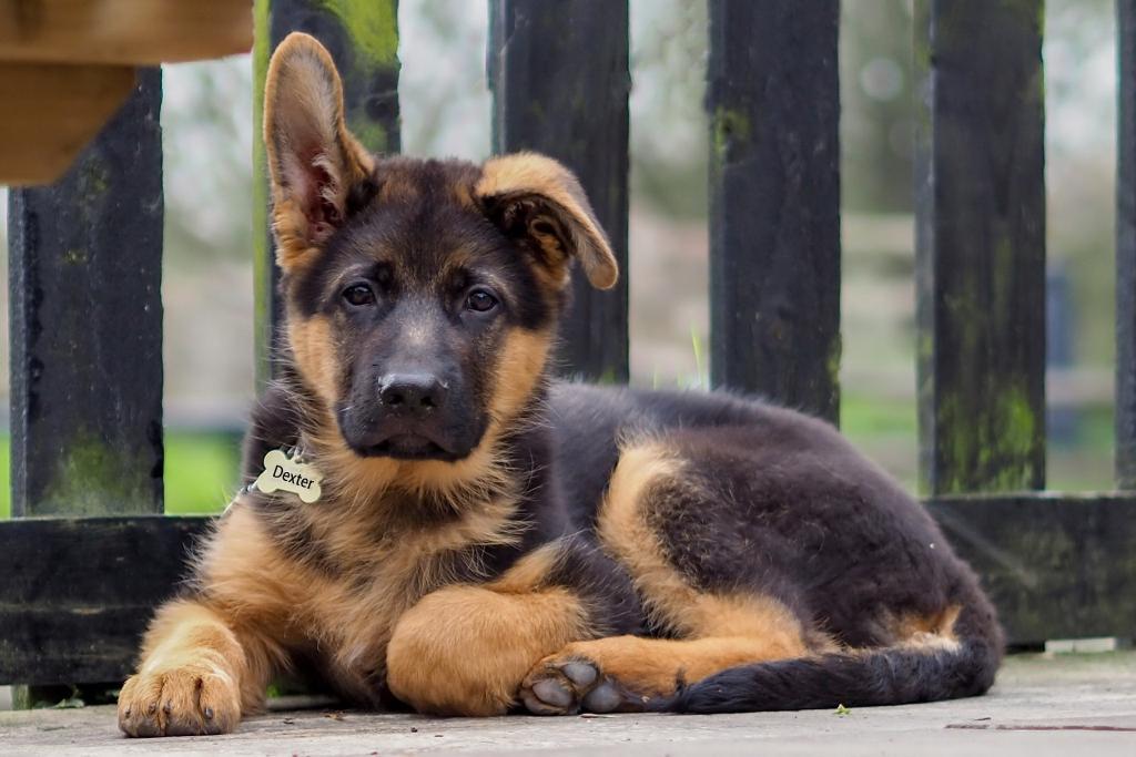 картинка щеночка овчарки отучилась днепропетровском