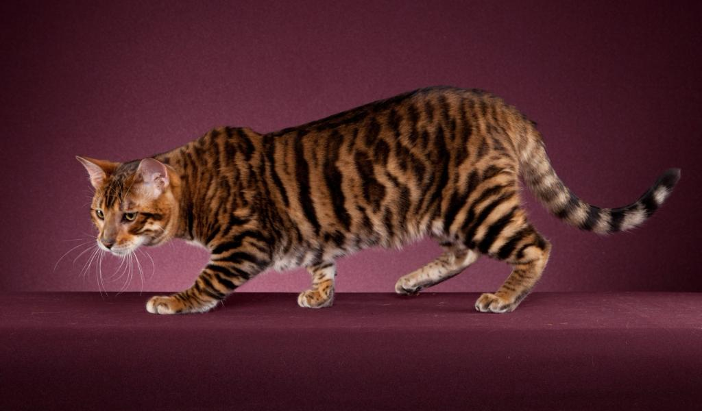 Тойгер:  описание кошки, характер, как купить котенка породы тойгер