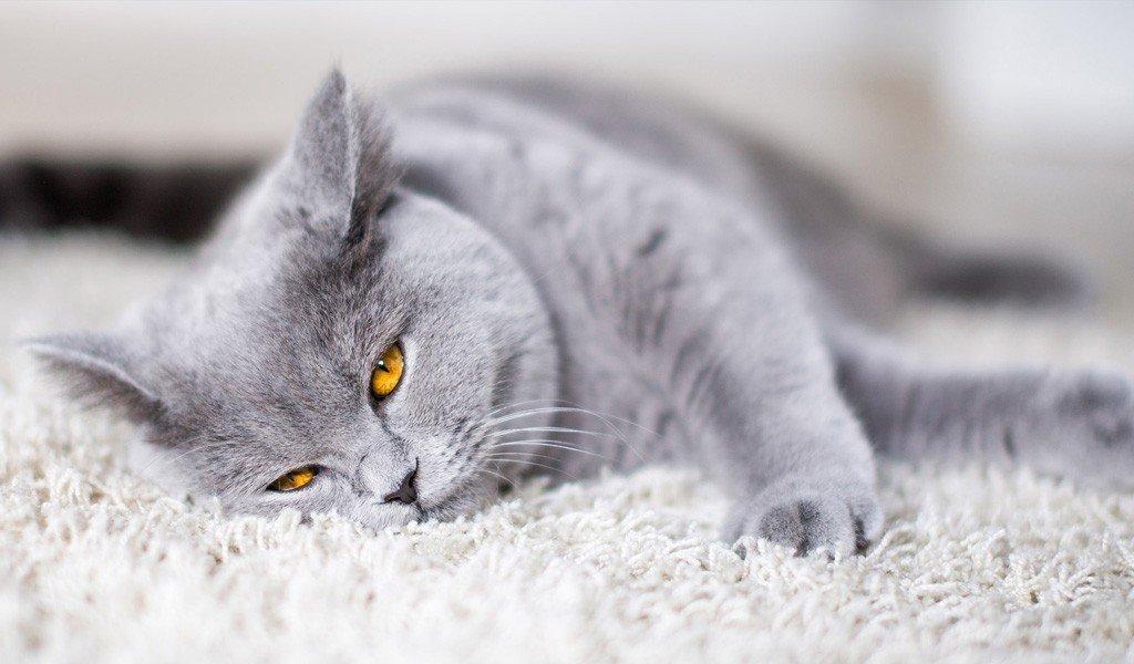 Кошки британской породы характеристика окрас описание стандарта