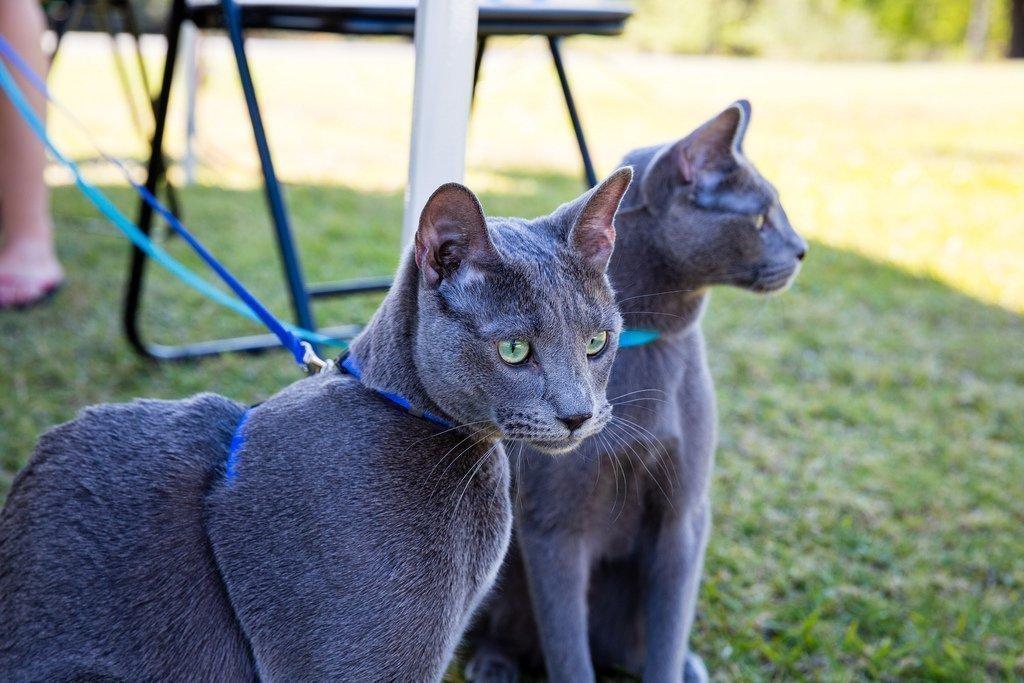 Картинки про голубых кошек