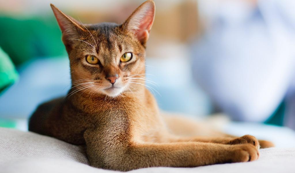 Абиссинская кошка комнатная пума