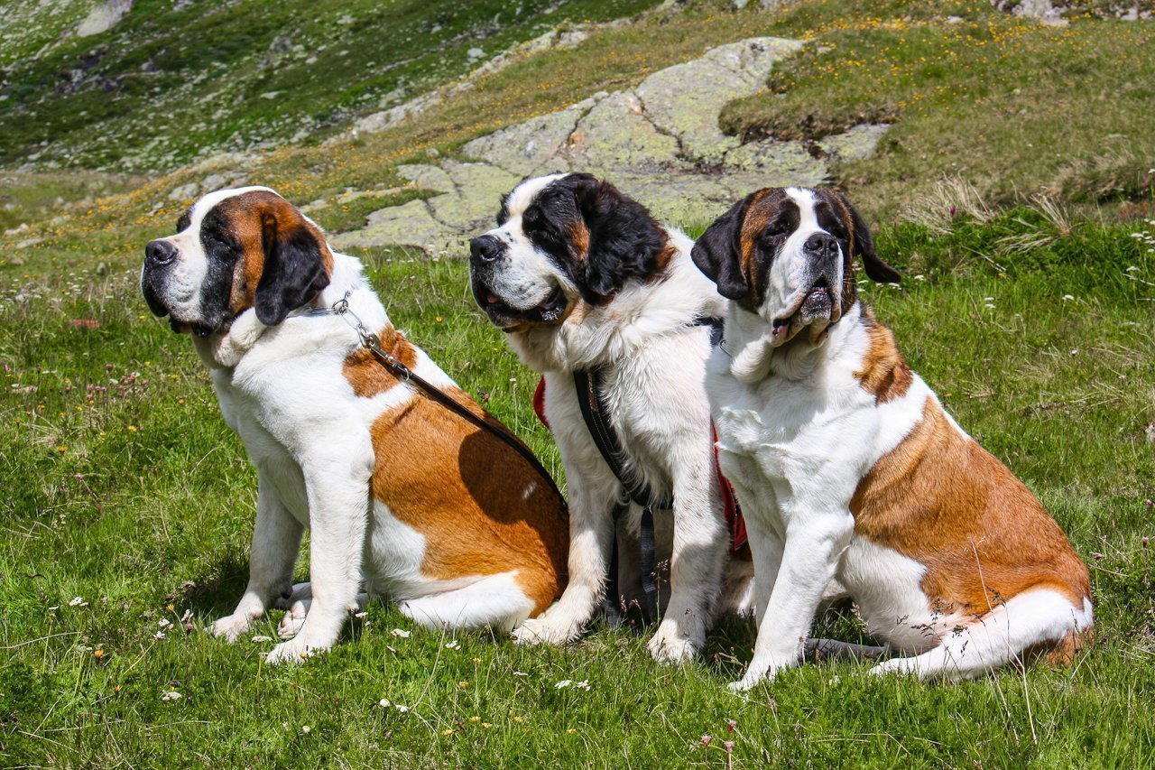 Картинки сенбернара щенки