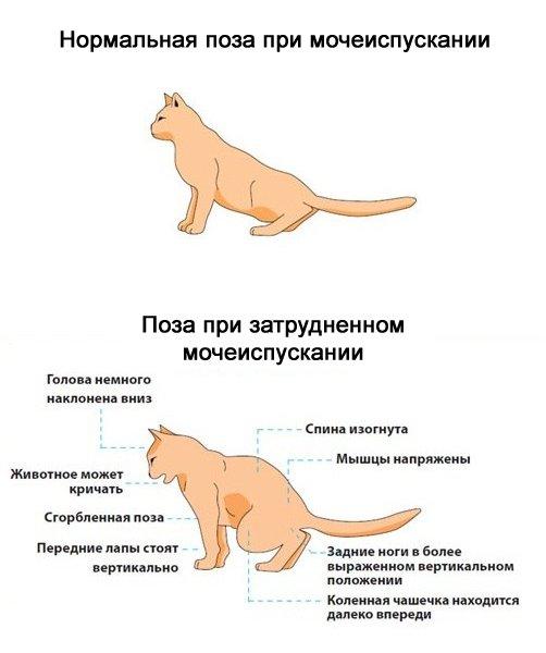 мочекаменная у котов