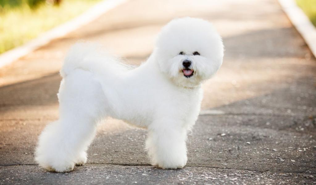 Бишон фризе: история происхождения породы собак