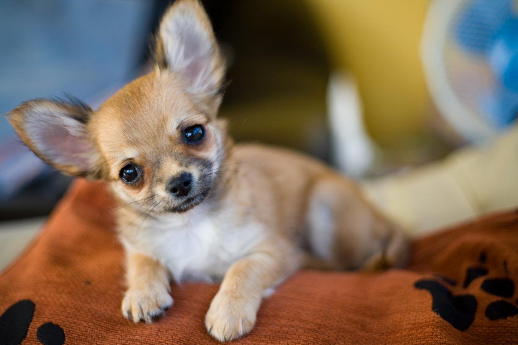 Картинки собак маленьких чихуахуа