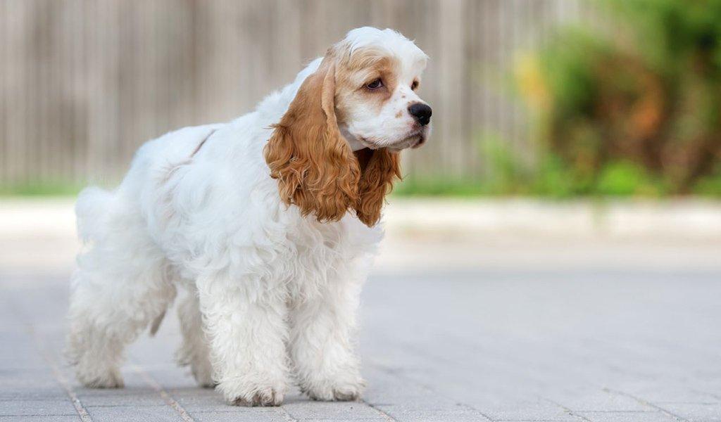 Собаки » Породы » Американский водяной спаниель
